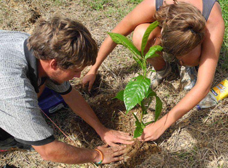 Piante Di Cacao : Queensland australia dalla piantumazione di piante