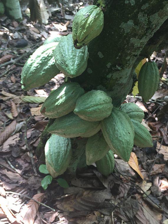 Piante Di Cacao : Viaggio nel cacao del ghana capitolo le piante