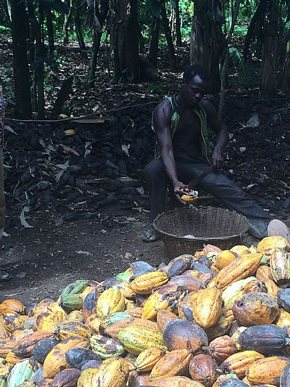 Travel in the Ghanaian cocoa! (Chapter 3): pods gathering