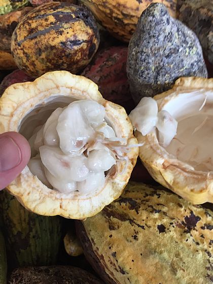 Travel in Cocoa Vietnam (D): Trinitarian T5 and T9 ...