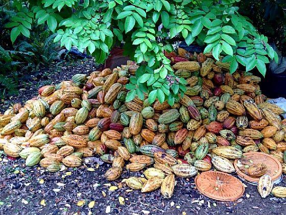 dominica piccole piantagioni e buon cacao cioccolato
